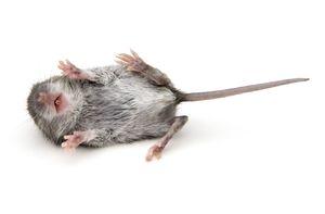 К чему видеть дохлых мышей