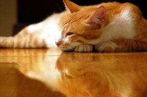 Все о домашних кошках