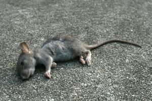 Видеть во сне крыс