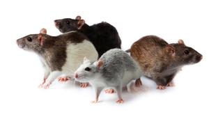 О чем может сказать сон про крысу