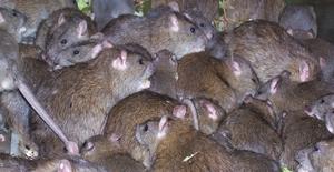 Как растолковать сон про крыс